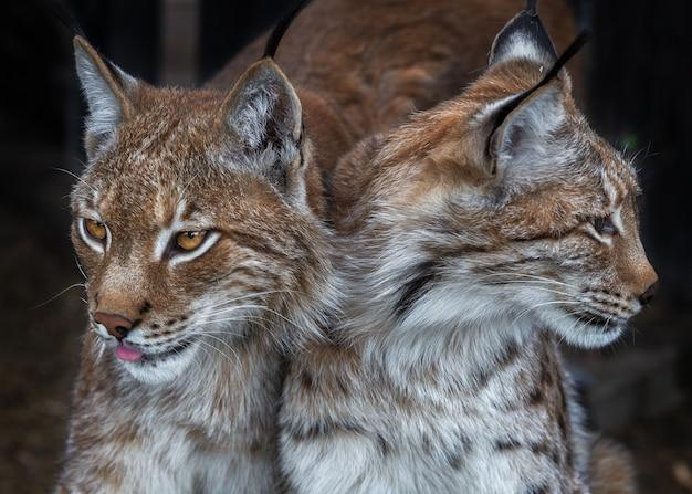 Twee lynxen spelen