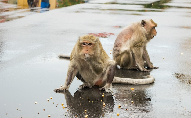 Twee makaak aap kauwend op maïs zaden