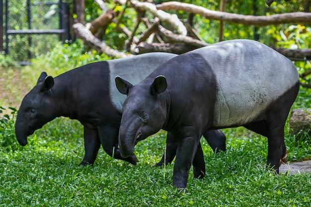 Twee maleisische tapir thailand