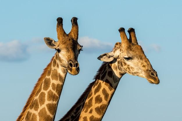 Twee mannelijke giraffen bij zonsondergang in kruger np, zuid-afrika