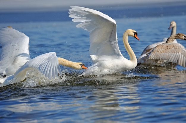 Twee mannelijke zwanen, cygnus olor, tijdens een gevecht om de suprematie in het paarseizoen op de rivier