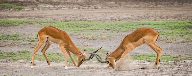 Twee mannetjes van de impala-antilope vechten met elkaar. afrika. tanzania. serengeti nationaal park.