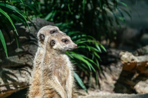Twee meerkat staat. het is een sceptisch dier. het moet worden nageleefd.