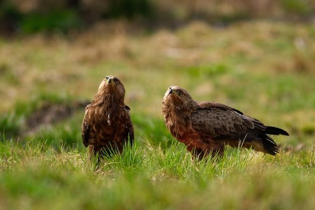 Twee mindere gevlekte adelaars die naar boven op een open plek in wildernis kijken