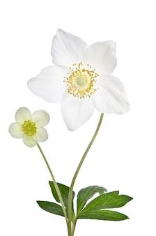 Twee mooie delicate bloemen geïsoleerd op een witte achtergrond