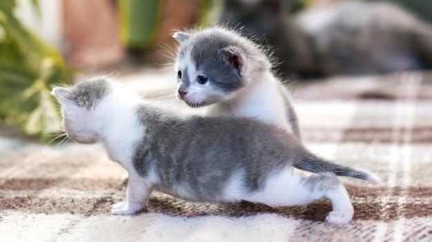 Twee mooie grijze kittens spelen in de kamer