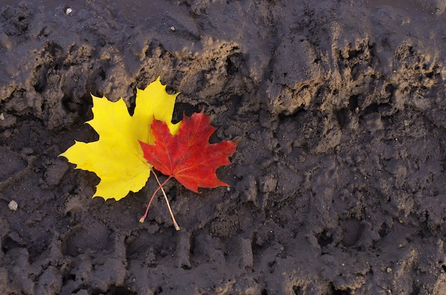 Twee mooie herfst esdoornblad liggend in de modder