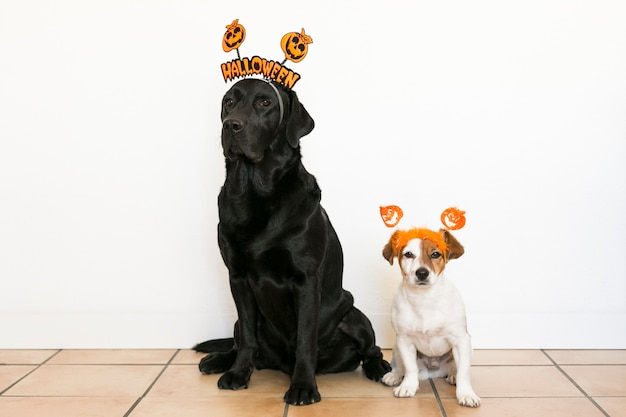 Twee mooie honden die halloween-diademen dragen. mooie zwarte labrador en schattige kleine hondje op witte achtergrond