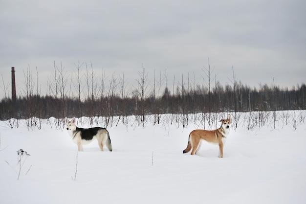 Twee mooie honden van gemengd ras die zich op het veld winterseizoen bevinden
