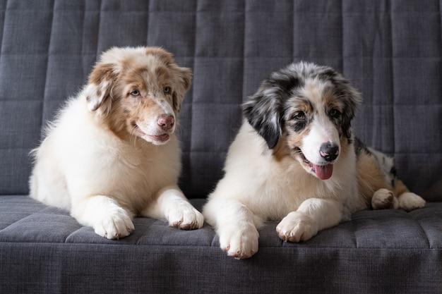 Twee mooie kleine schattige australische herder rode merle puppy hondje.