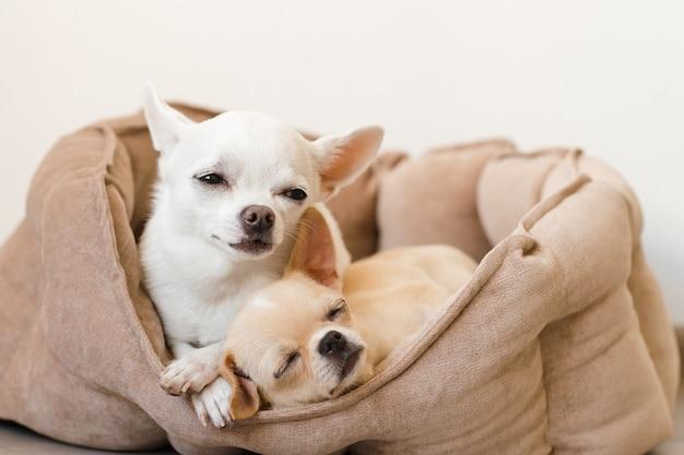 Twee mooie, leuke en mooie binnenlandse chihuahua puppy vrienden van het zoogdierras liegen, ontspannend in hondenbed. huisdieren rusten, samen slapen. zielig en emotioneel portret. vader en dochterfoto.