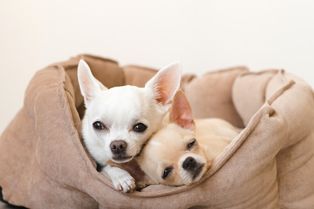 Twee mooie, schattige en mooie binnenlandse chihuahua puppy's vrienden liggen, ontspannen in hondenmand