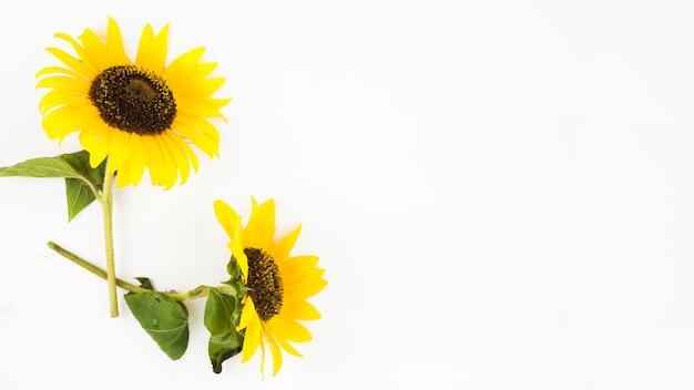 Twee mooie zonnebloemen op witte achtergrond