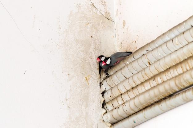 Twee mussen van java komen uit het gat aan de hoek van de muur.