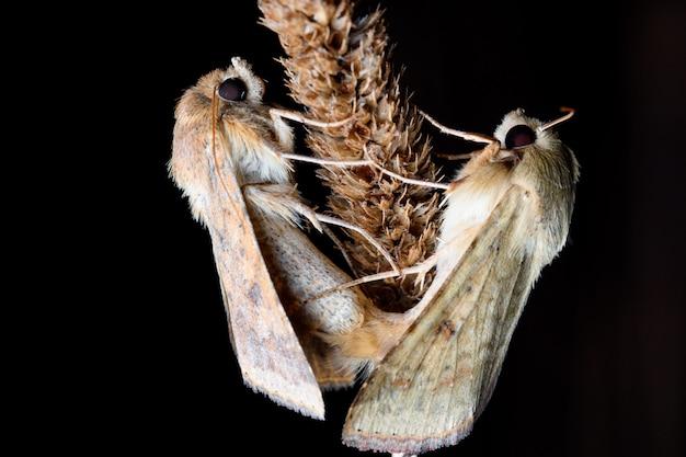 Twee nachtvlinders (katoen bollworm) in reproductie op een plant tijdens de nacht.