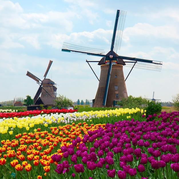 Twee nederlandse windmolens over rijen van tulpengebied, nederland