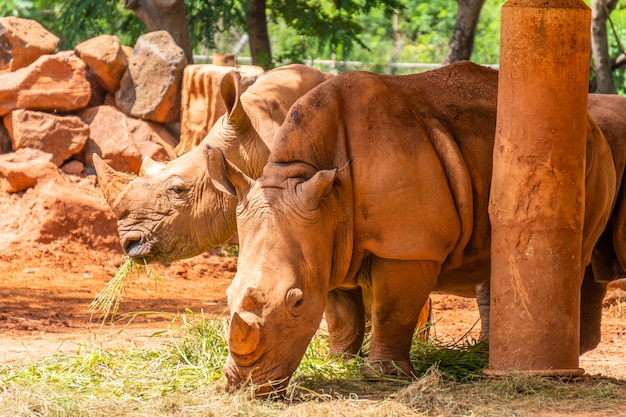 Twee neushoorn met roodhuidige huid eten van gras in de dierentuin