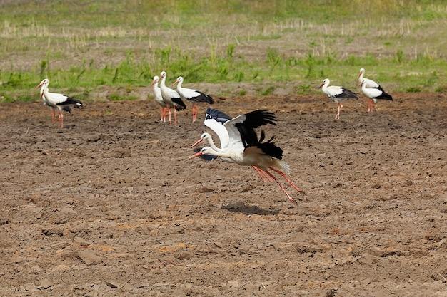 Twee ooievaars uit een kudde, vliegen omhoog over een omgeploegd veld.