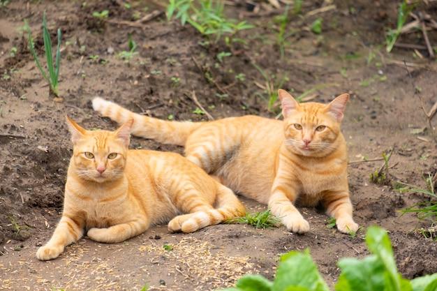 Twee oranje katten die op de grond rusten.