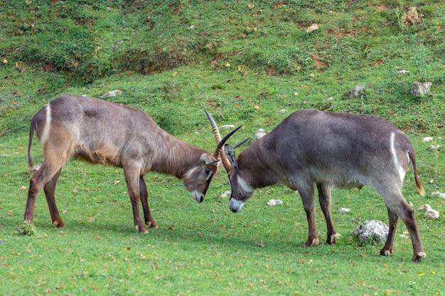 Twee oryx gazelle vechten