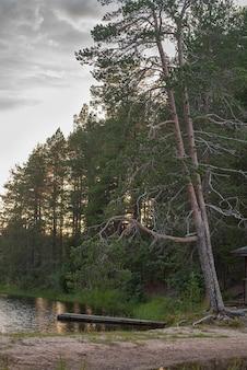 Twee overgehelde hoge dennen over het meer in het bos bij zonsondergang