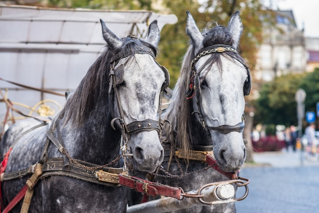 Twee paard in harnas