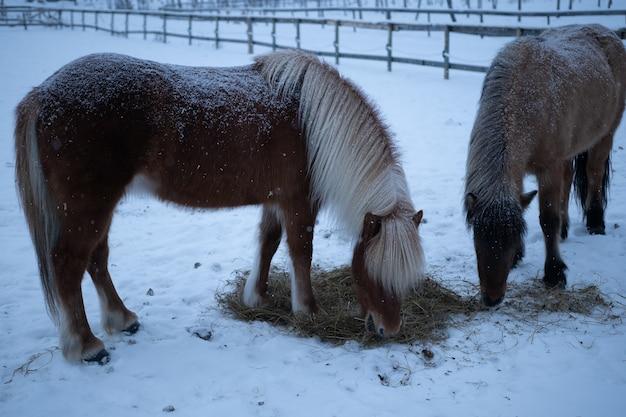 Twee paarden die in de winter hooi eten in het noorden van zweden