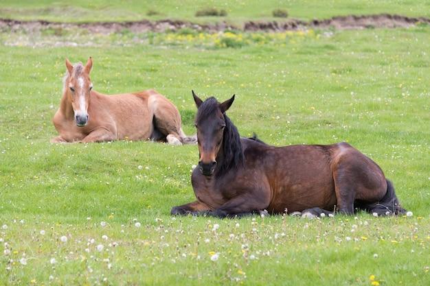 Twee paarden die op de weide liggen