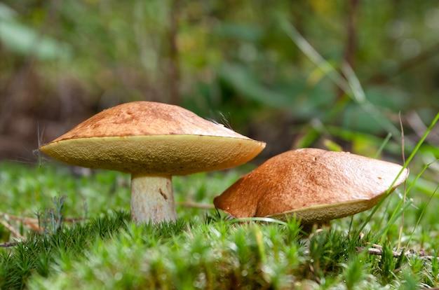 Twee paddestoelen in het mos