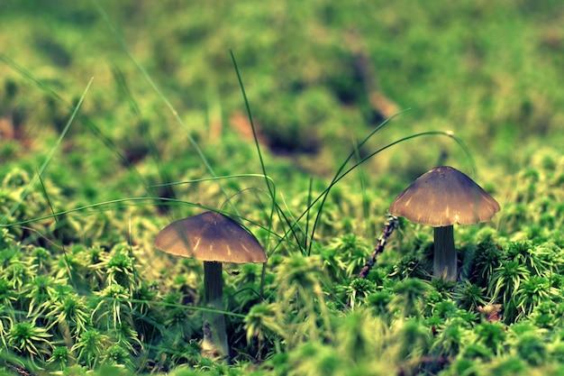 Twee paddestoelpaddestoelen bevinden zich onder mos met vaag