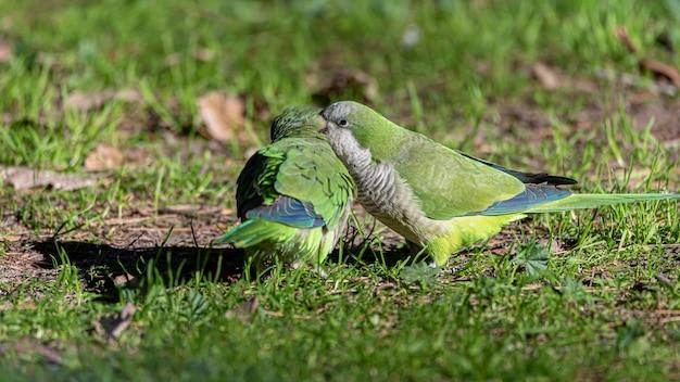Twee papegaaien klapperen in het oor