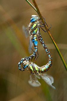 Twee parende libellen
