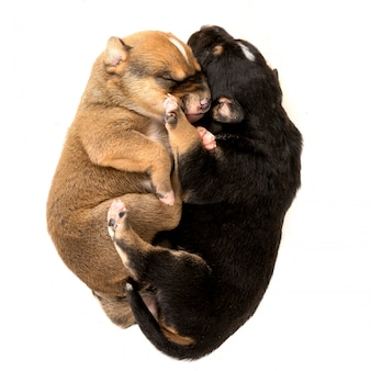 Twee pasgeboren puppy op witte achtergrond bovenaanzicht