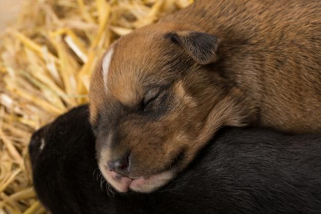 Twee pasgeboren puppy's in een schuur