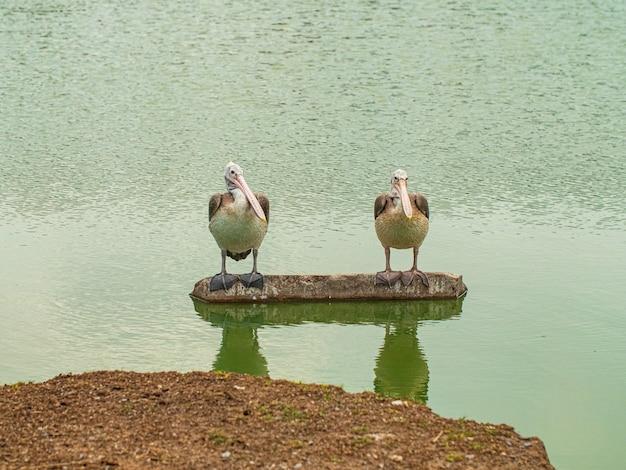 Twee pelikaan vogels houden rots in natuurlijke wildernis.