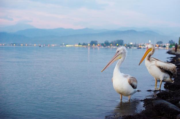Twee pelikanen aan de waterkant van de stad