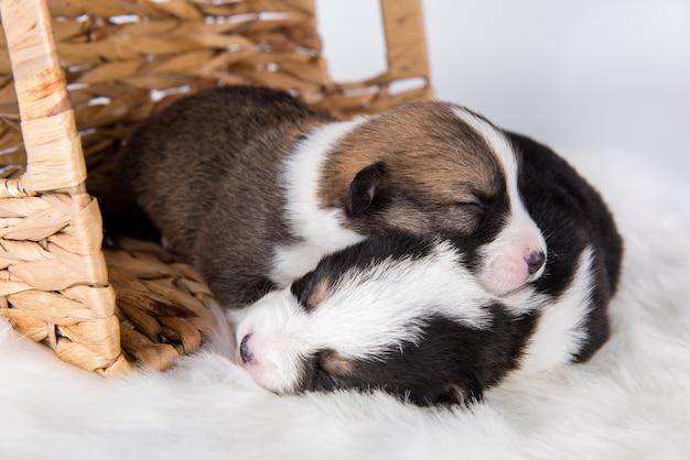 Twee pembroke welsh corgi-puppyhonden op wit