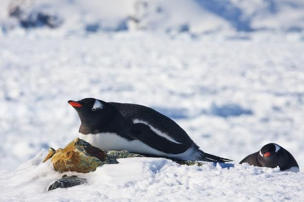 Twee pinguïns in antarctica