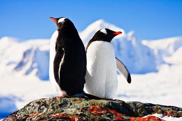 Twee pinguïns