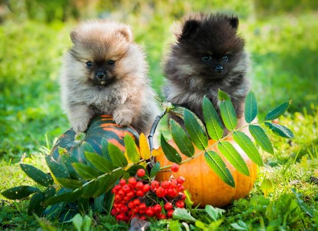 Twee pomeraniaanse hondenpuppies en pompoen