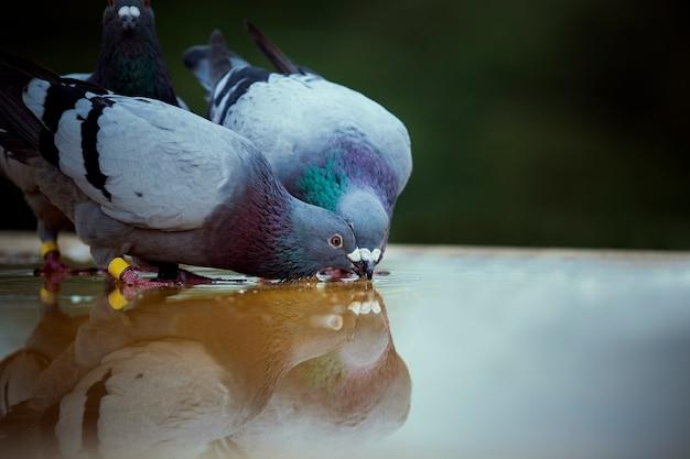 Twee postduif brid drinkwater op dakvloer