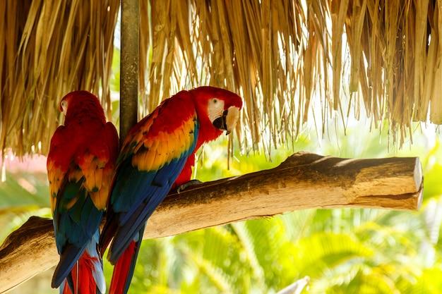 Twee prachtige ara papegaaien