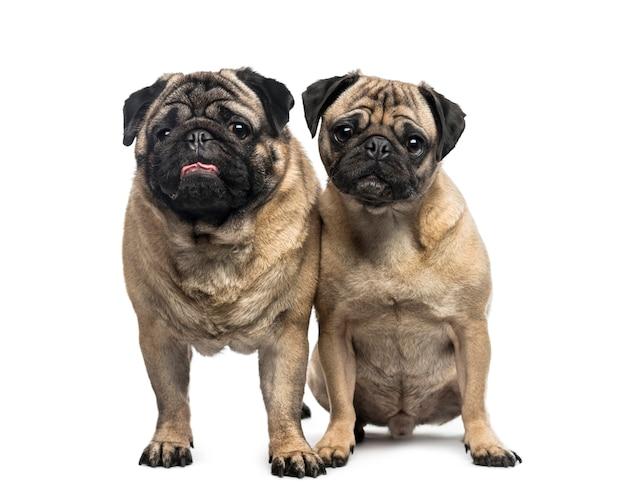 Twee pugs voor een witte muur