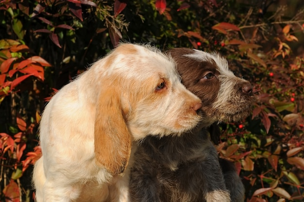 Twee puppies van spinone italiano-hond