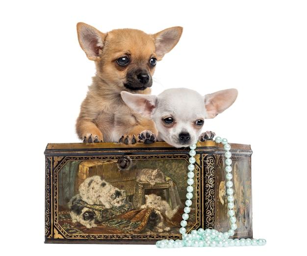 Twee puppy chihuahua in een uitstekende doos die op wit wordt geïsoleerd