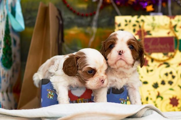 Twee puppy's, kleine honden cavalier king charles spaniel voor kerstmis bij een kerstboom, briefkaart.