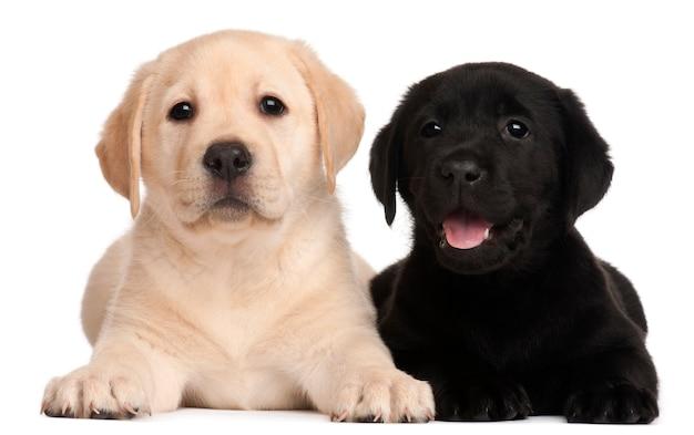 Twee puppy's van labrador, 7 weken oud,