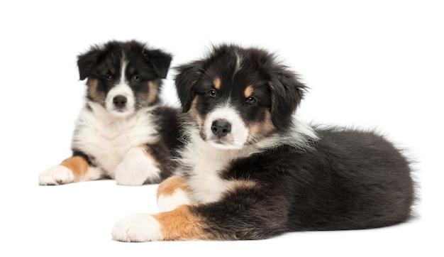 Twee puppy van de australische herder, liegen, focus op de voorgrond tegen een witte achtergrond