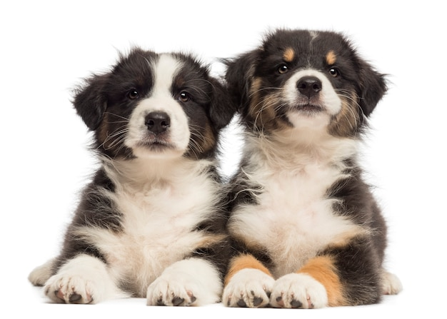 Twee puppy van de australische herder, liggend tegen een witte achtergrond