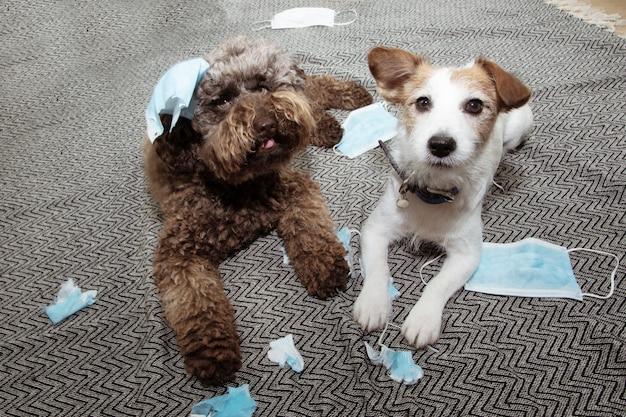 Twee puppyhonden die op heterdaad betrapt werden na het vernietigen en bijten van een paar beschermende gezichtsmaskers